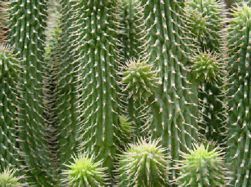Does Hoodia Really Work For Fat Loss?
