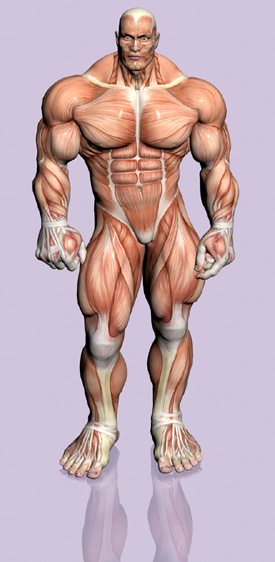 muscle fiber type - muscle types, strength gains, and energy systems, Muscles
