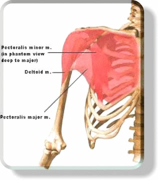 Shoulder Muscles Anatomy - Deltoids
