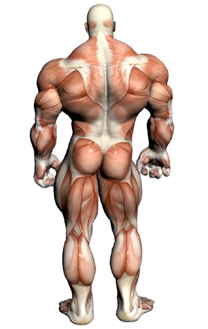 Muscular System - Muscle Anatomy Back