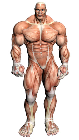 muscular system - muscular anatomy, Muscles