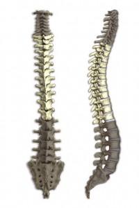 468488_thoracic_vertebrae1